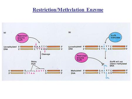 Restriction/Methylation Enzyme