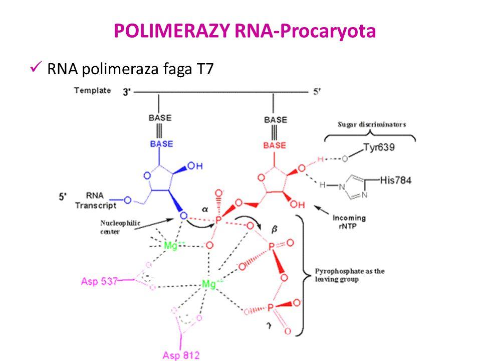 POLIMERAZY RNA-Eucaryota Zbudowane są z minimum 12 podjednostek.