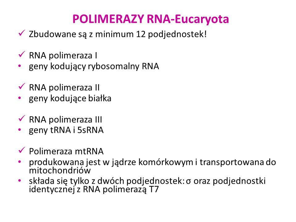 POLIMERAZY RNA-Eucaryota RNA polimeraza I strukturalne składniki rybosomów kodowane przez zespoły genów tworzące jąderka potrzebne w bardzo dużych ilościach