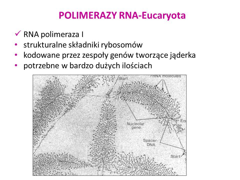 POLIMERAZY RNA-Eucaryota RNA polimeraza II syntetyzuje RNA na matrycy genów kodujących białka aktywność regulowana przez sekwencje TATA box, elementy regulacyjne i enhancery (aktywatory transkrypcji) mRNA powstaje z transkryptu w wyniku dojrzewania