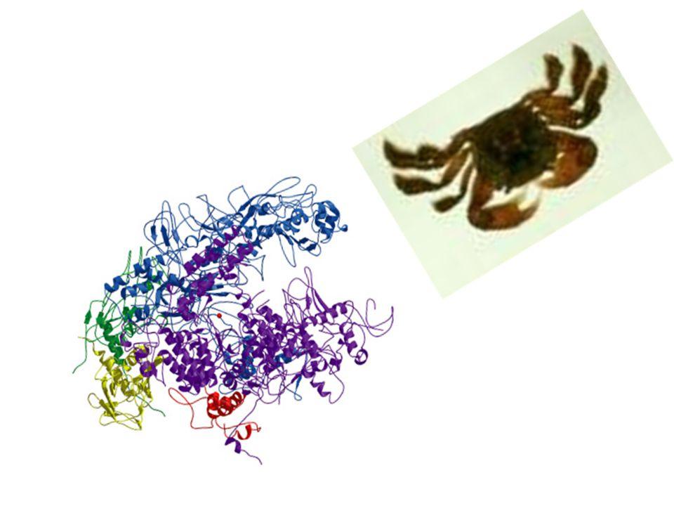 POLIMERAZY RNA-Procaryota RNA polimeraza E.coli Holoenzym złożony z 4 podjednostek (gwarantujących elongację) i 1 podjednostki niezbędnej do inicjacji transkrypcji: α-składanie enzymu (części białkowej- apoenzymu i niebiałkowej- kofaktora) β-podjednostka katalityczna β'- wiązanie z DNA ω-utrzymywanie aktywności enzymu σ- rozpoznawanie promotora ρ- (rho)faktor odpowiedzialny za rozpoznanie terminacji (opcjonalnie) Po rozpoznaniu promotora genu syntetyzuje ssRNA do sekwencji terminatorowej; wymaga Mg 2+