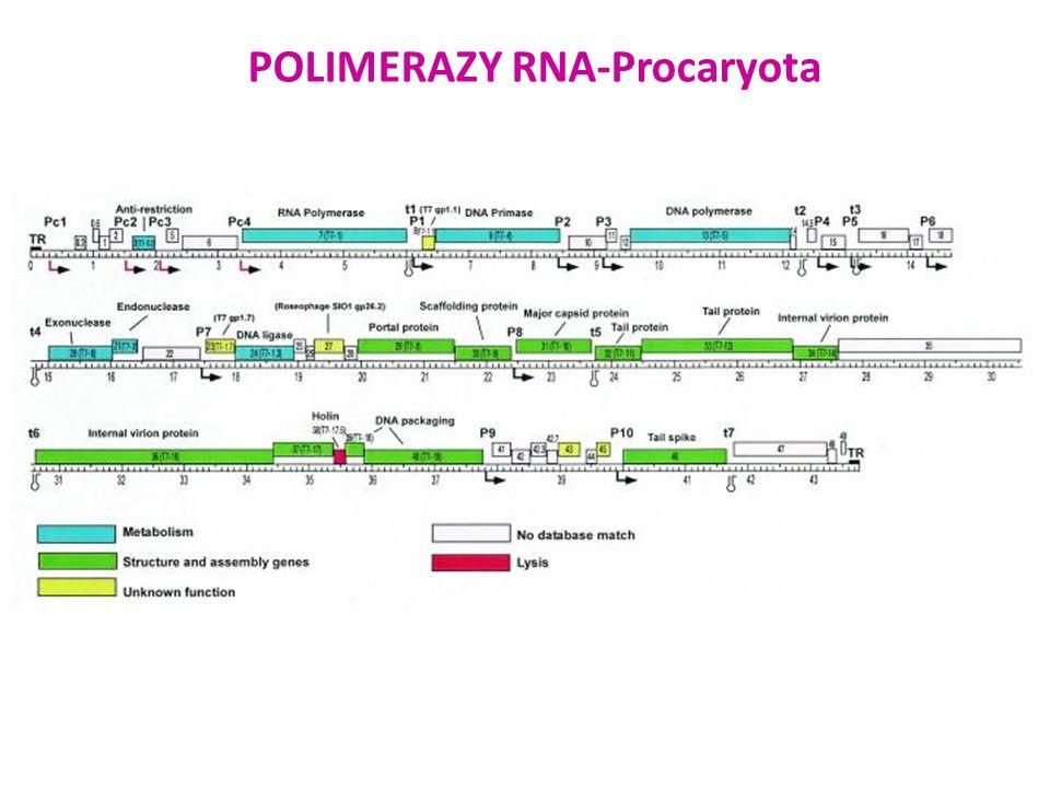 RNA polimeraza faga T3 produkowana przez zrekombinowane plazmidem pCM56 E.