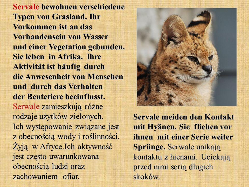 Wölfe leben in Rudeln.Sie jagen auch gemeinsam.