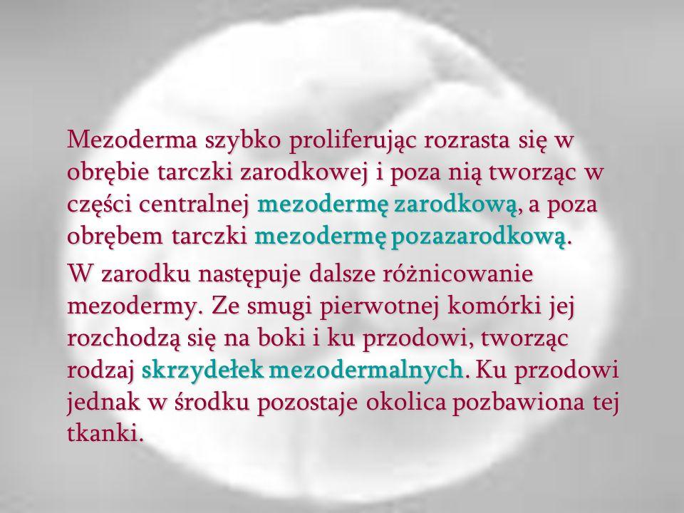 Oprócz smugi pierwotnej powstaje po stronie dogłowowej zarodka zgrubienie zwane węzłem zarodkowym (Hensena), w którym wszystkie trzy listki zarodkowe czyli ektoderma, entoderma i mezoderma są ze sobą połączone i z niego proliferują.