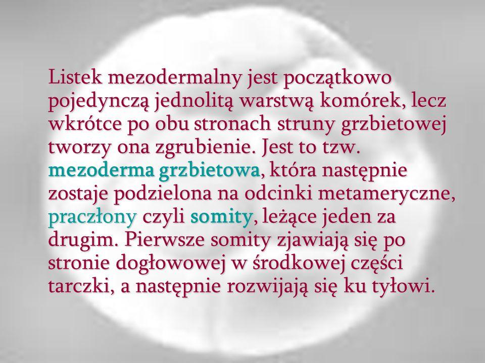 Mezoderma leżąca po bokach mezodermy grzbietowej nie tworzy metamerycznych somitów lecz rozszczepia się na dwie blaszki: ścienną zwaną somatopleurą i wewnętrzną czyli trzewną zwaną splanchnopleurą, pomiędzy którymi tworzy się wolna przestrzeń w postaci szpary.