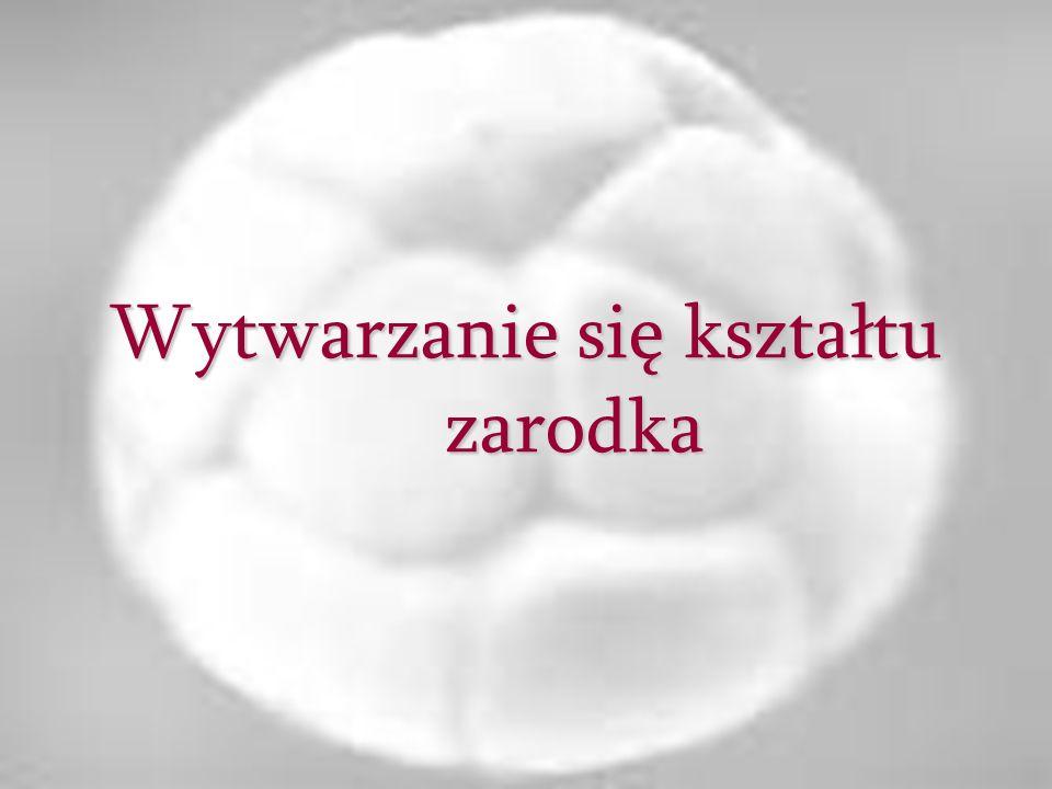 Początkowo tarczka zarodkowa jest płaską płytką o kształcie okrągłym, uwypuklająca się nieco ponad powierzchnię trofoblastu.