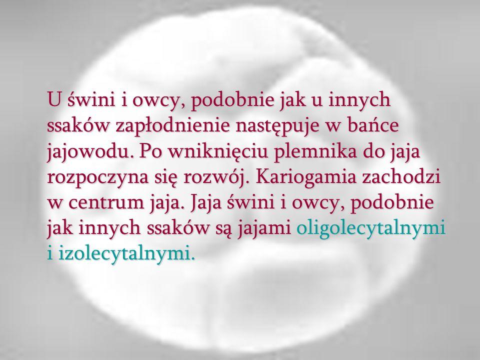 typu hololecytalnego – całkowite i prawie równomierne.