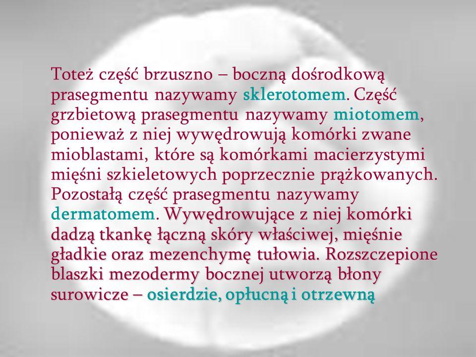 Pomiędzy praczłonami, a blaszkami bocznymi mezodermy pozostaje pasemko mezodermy zwane pośrednim albo nefrotomem, które jest zawiązkiem aparatu moczo-płciowego.