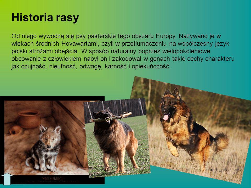 Wygląd owczarka niemieckiego: Psy - wysokość w kłębie - 60 do 65 cm; waga 30 do 40 kg.