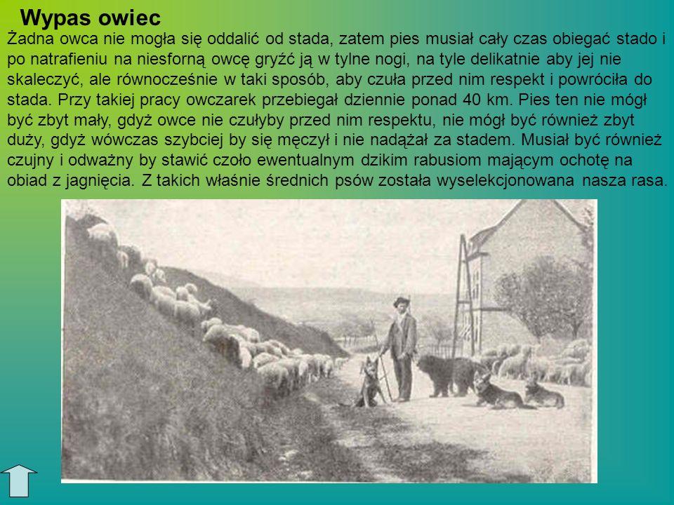 Owczarek długowłosy ze środkowych Niemiec Owczarek krótkowłosy z Württembergii owczarek z okolic Braunschweig Biały owczarek z północnych Niemiec Przodkowie rasy i odmiany