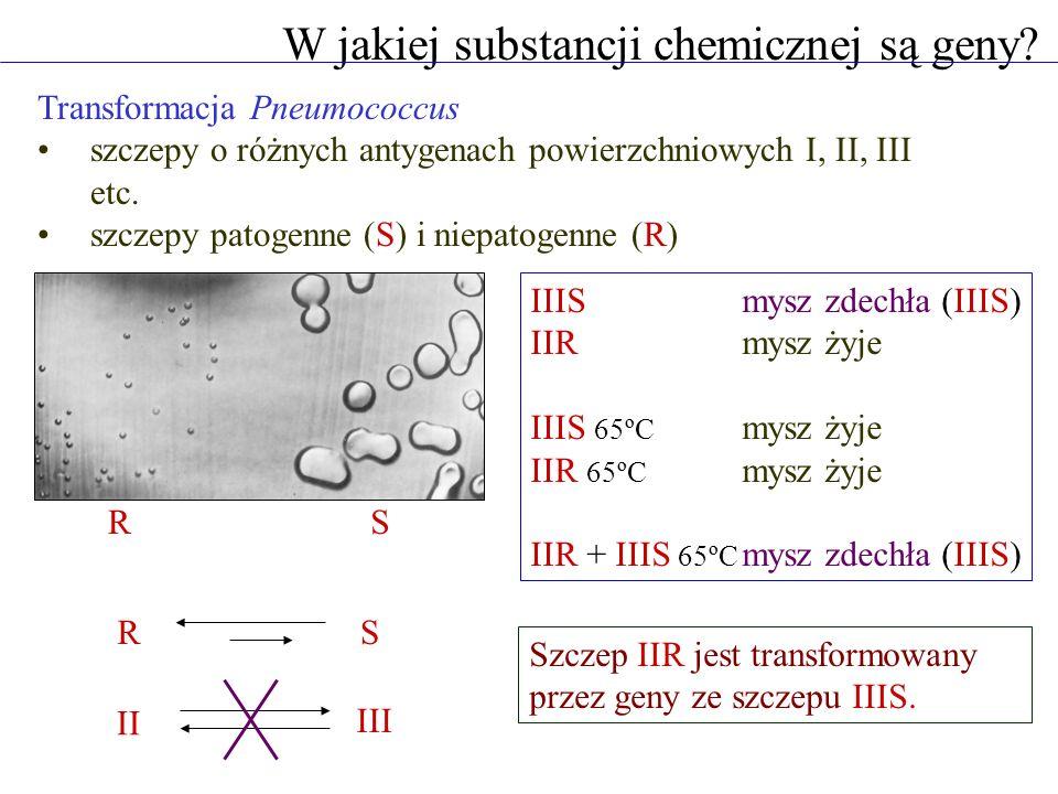 DNA - czynnik transformujący Pneumococcus zabicie (65ºC) szczepu IIIS chemiczne oczyszczenie polisacharydów, białek i DNA zmieszanie ze szczepem IIR i wstrzyknięcie myszom Nośnikiem genów jest DNA IIIS 65ºC IIIS polisacharydy białka DNA mysz zdechła (IIIS) mysz żyje DNA jest czynnikiem transformującym IIR do IIIS.