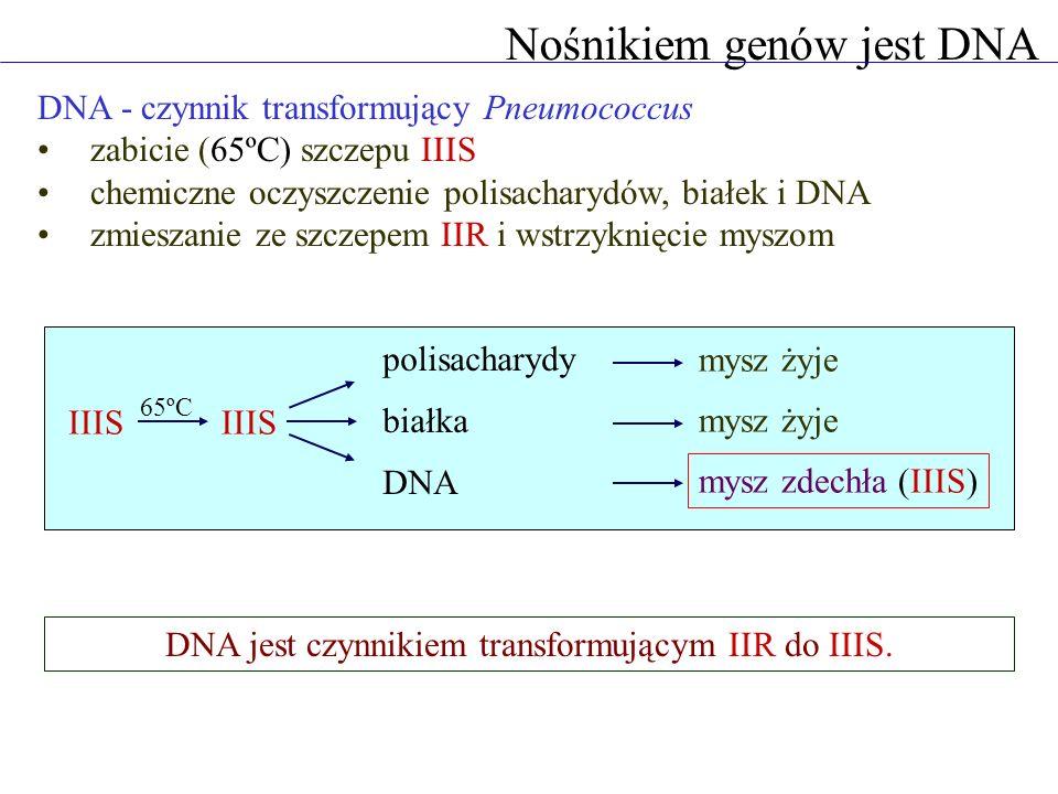 Nośnikiem genów jest DNA DNA - materiał genetyczny faga T2 znakowanie DNA 32 P, znakowanie białek 35 S adsorpcja fagów do bakterii homogenizacja 35 S zostaje w pożywce 32 P wchodzi do bakterii replikacja faga Tylko DNA jest niezbędny do produkcji fagów potomnych