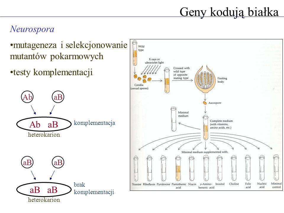 Geny kodują białka Jeden gen - jeden enzym auksotrofy niezdolne do wzrostu bez argininy trzy grupy komplementacji - trzy różne geny niezbędne na różnych etapach biosyntezy argininy wzrost w pożywce minimalnej grupy komplementacji 1.