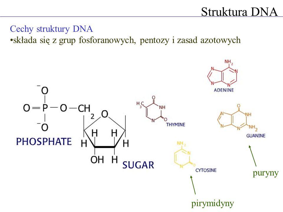 Struktura DNA Cechy struktury DNA składa się z grup fosforanowych, pentozy i zasad azotowych grupa gosforanowa łączy się z deoksyrybozą i zasadą azotową tymina cytozyna adenina guanina pirymidynypuryny
