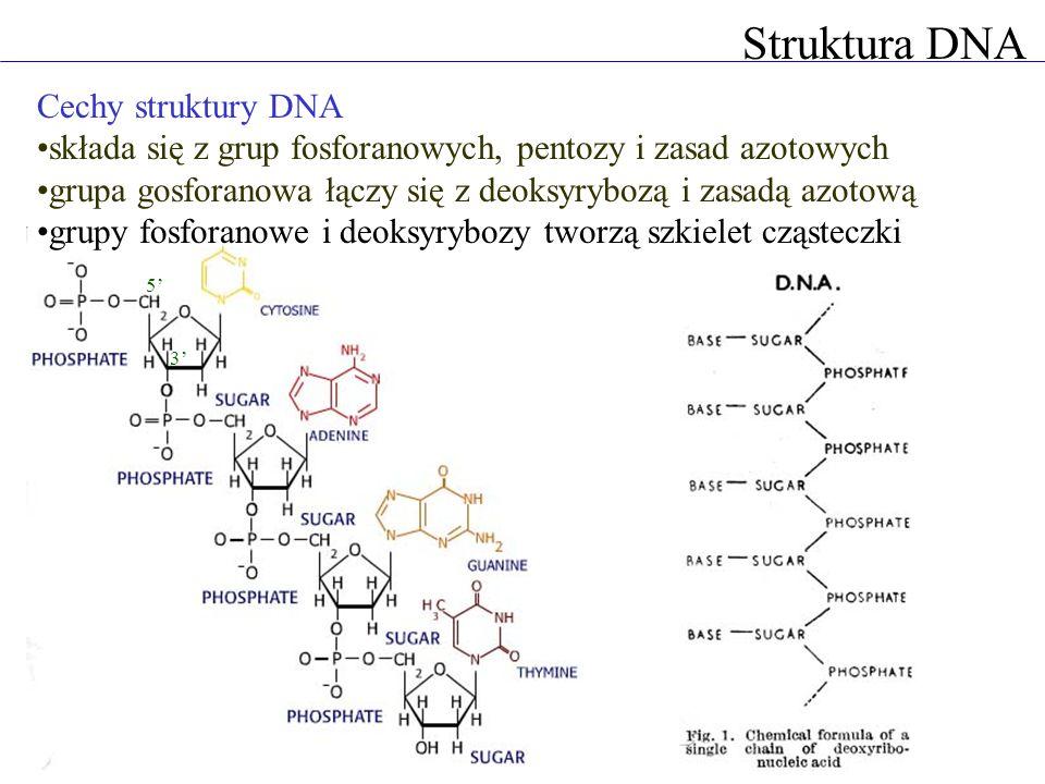 Struktura DNA Jak łańcuchy DNA układają się w przestrzeni.