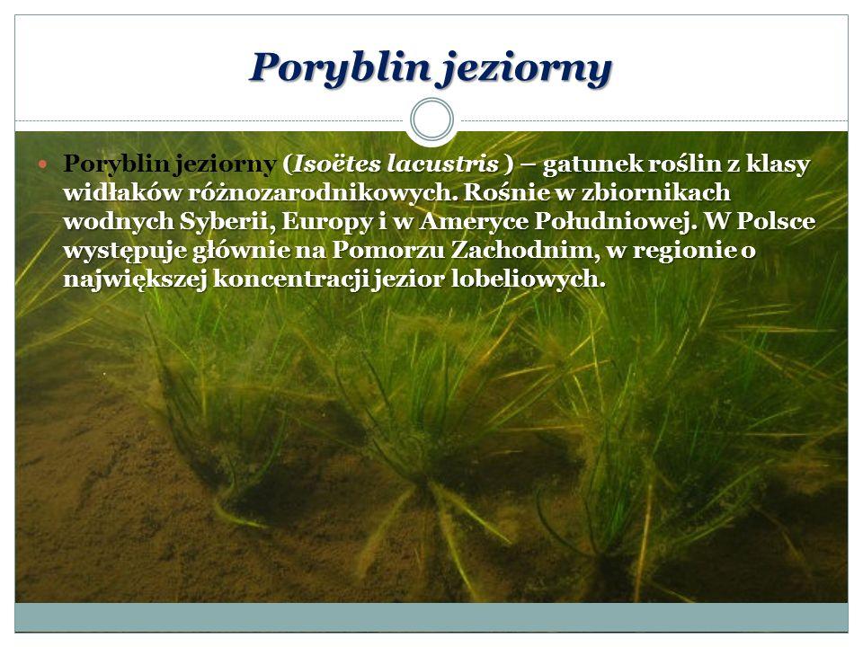Lobelia jeziorna Lobelia jeziorna (Lobelia dortmanna), zwana też stroiczką wodną lub jeziorną – gatunek roślin z rodziny dzwonkowatych.