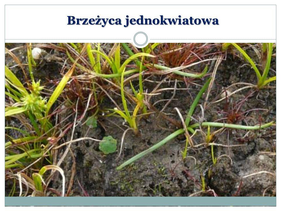 Wywłócznik skrętoległy Myriophyllum alterniflorum DC.) – gatunek rośliny wodnej z rodziny wodnikowatych.