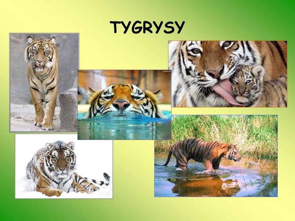 GEPARD (Acinonyx jubatus) Nazwa Acinonyx, oznacza po grecku nieruchomy pazur (gepardy jako jedyne koty nie mogą chować pazurów), a nazwa gatunkowa, jubatus, oznacza po łacinie grzywiasty , z powodu grzywy, która zdarza się u niektórych młodych gepardów (tzw.