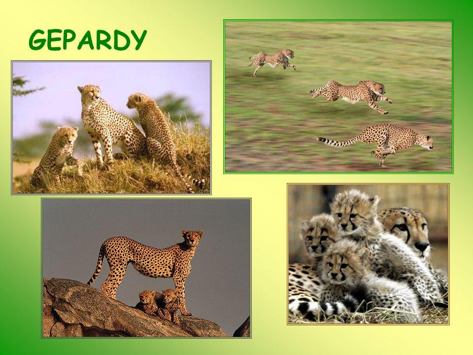 PANTERA (Panthera pardus) Lampart (pantera, leopard, rysiec).