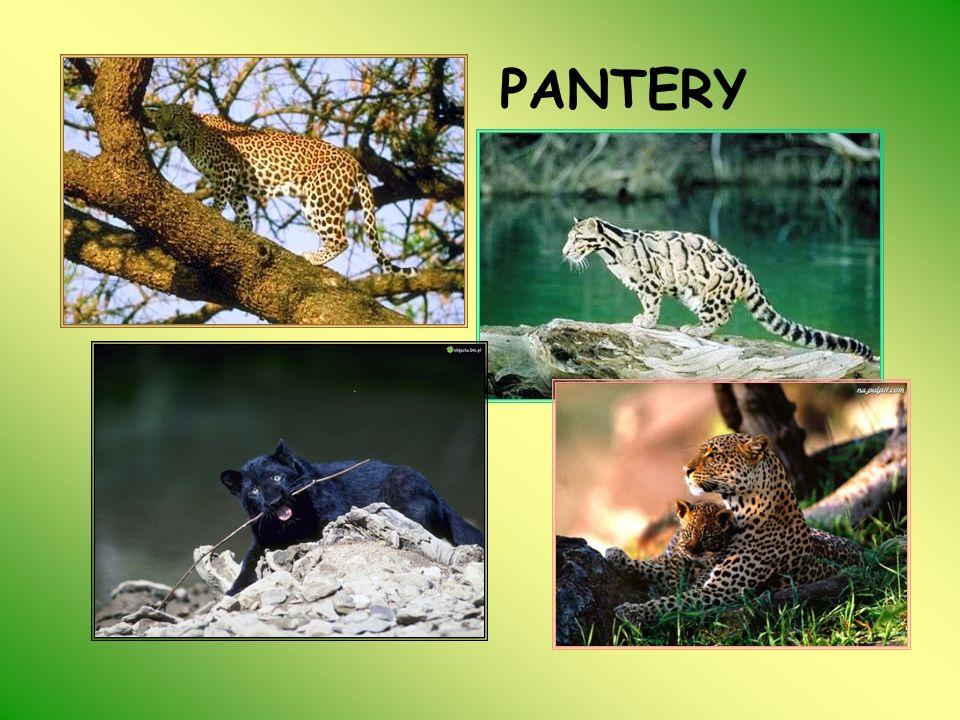 JAGUAR (Panthera onca) Obszar występowania jaguara jest stosunkowo duży.