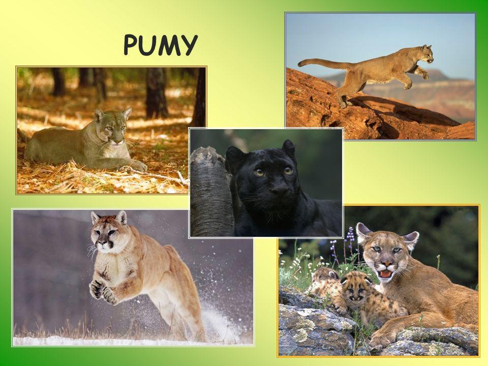OCELOT (Leopardus pardalis) Oceloty mają krótką, jedwabistą sierść o barwie żółtej, rudej lub szarej Nieregularny wzór z ciemnych plam i pręg zdobi futro,brzuch jest jasny, uszy czarne (z białymi plamkami) i zaokrąglone są osadzone na niewielkiej głowie.
