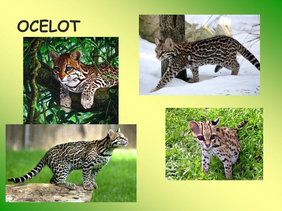 SERWAL (Leptailurus serval ) Jest spotykany na południe od Sahary Najchętniej żyją na terenach porośniętych wysoką trawą z łatwym dostępem do wody Jest kotem średniej wielkości.