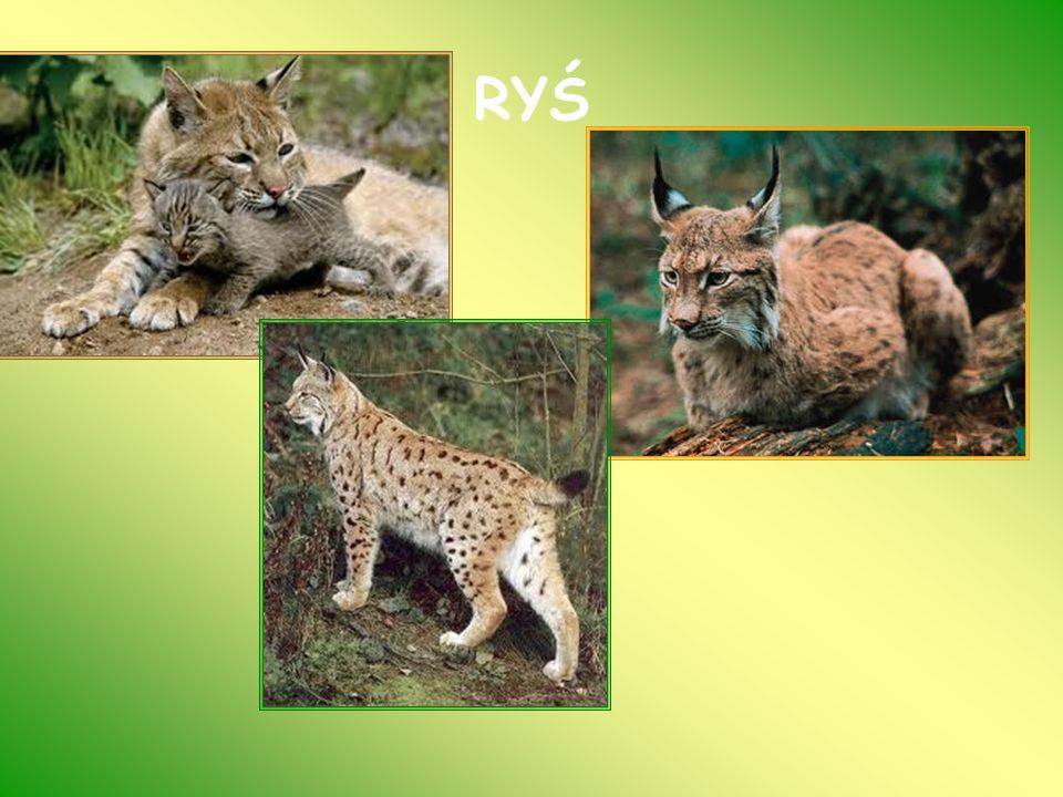 ŻBIK (Felis silvestris) Nieduży kot o gęstym długim futrze od żółtawo-szarego do ciemno-szarego.