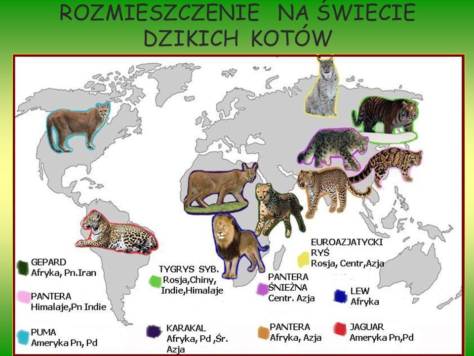 Poznajmy rodzinę kotowatych Kotowate (Felidae), rodzina ssaków zaliczana do rzędu drapieżnych.