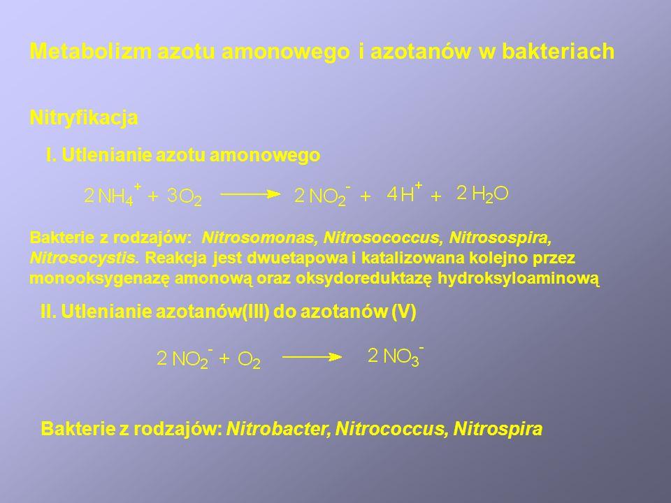 Denitryfikacja Azotany(V) w środowisku wodnym mogą być redukowane do: (a)azotu amonowego (szlak asymilacyjny, warunki tlenowe) (b)tlenków azotu i azotu cząsteczkowego (szlak dysymilacyjny, warunki anoksyczne).