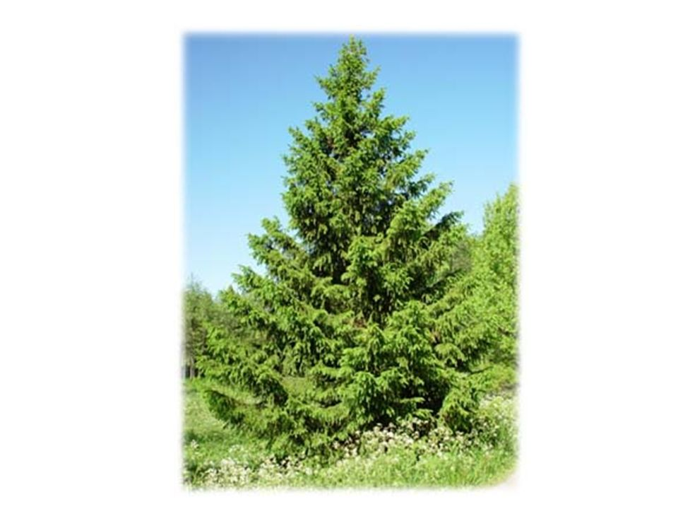 Teraz przemawia świerk.Jako najwyższe z drzew widział on najdalej.