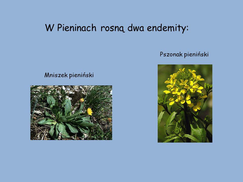 W Pieninach rosną dwa endemity: