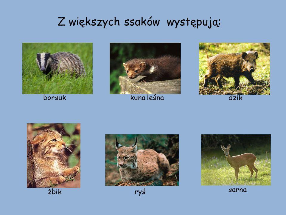 Z większych ssaków występują: