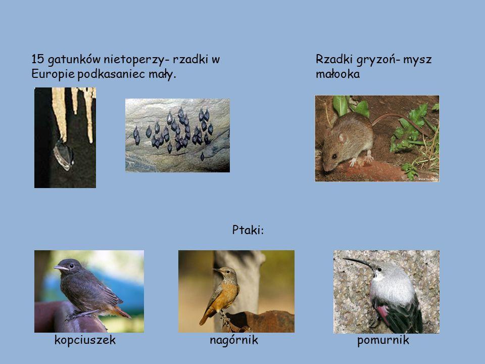 15 gatunków nietoperzy- rzadki w Europie podkasaniec mały.