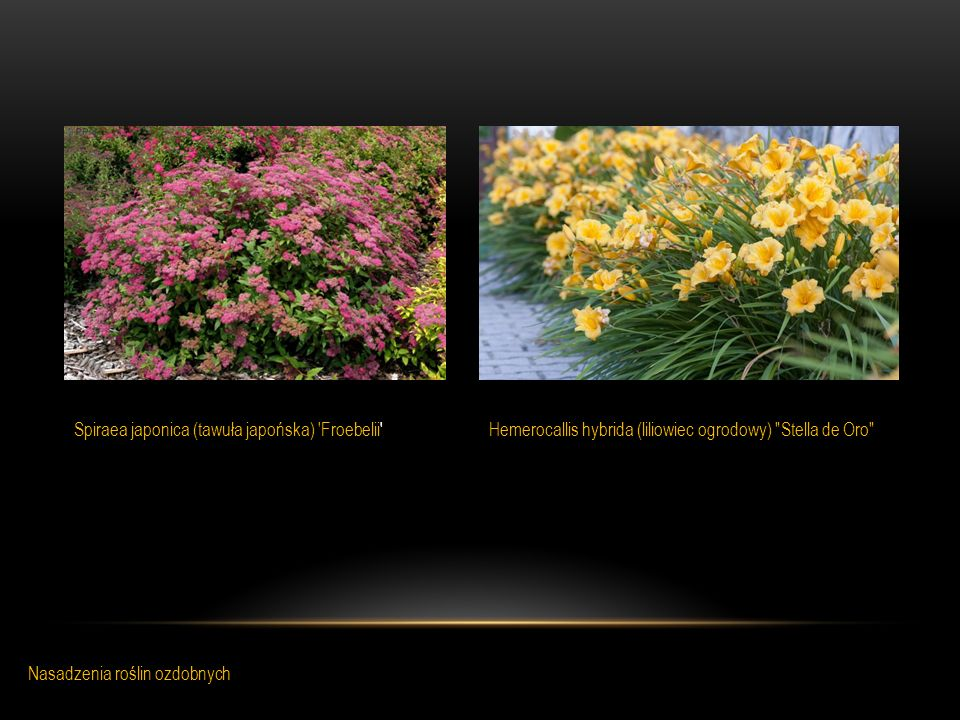 Spiraea japonica (tawuła japońska) Froebelii