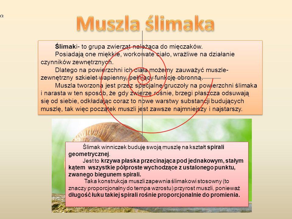 Muszla ślimaka Ślimaki- to grupa zwierząt należąca do mięczaków.