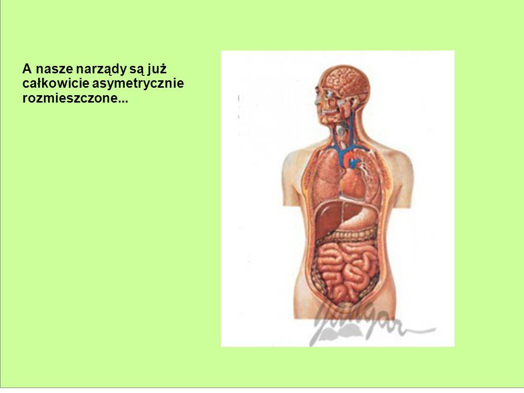 A nasze narządy są już całkowicie asymetrycznie rozmieszczone...