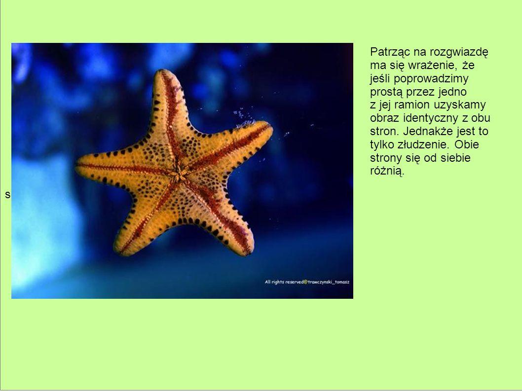 sd Patrząc na rozgwiazdę. ma się wrażenie, że. jeśli poprowadzimy. prostą przez jedno. z jej ramion uzyskamy.