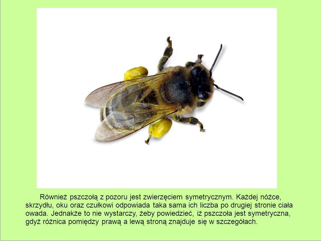 Również pszczołą z pozoru jest zwierzęciem symetrycznym