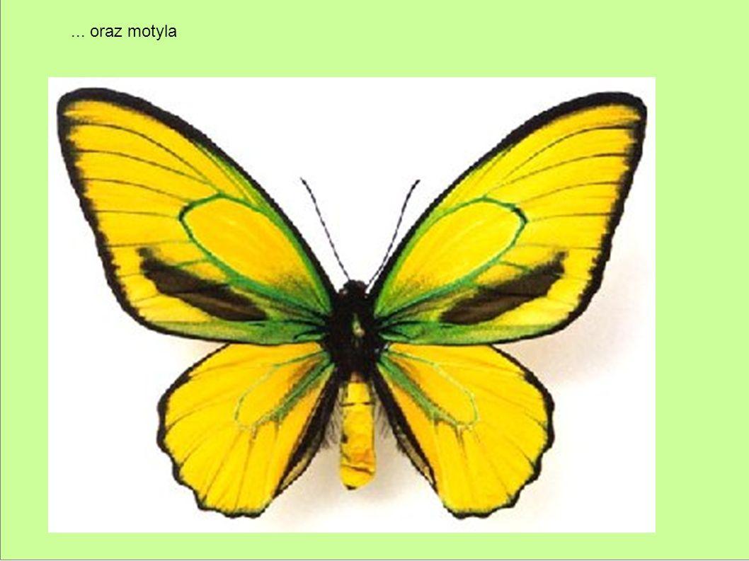 ... oraz motyla
