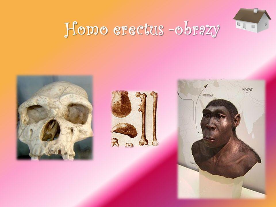Homo erectus -obrazy