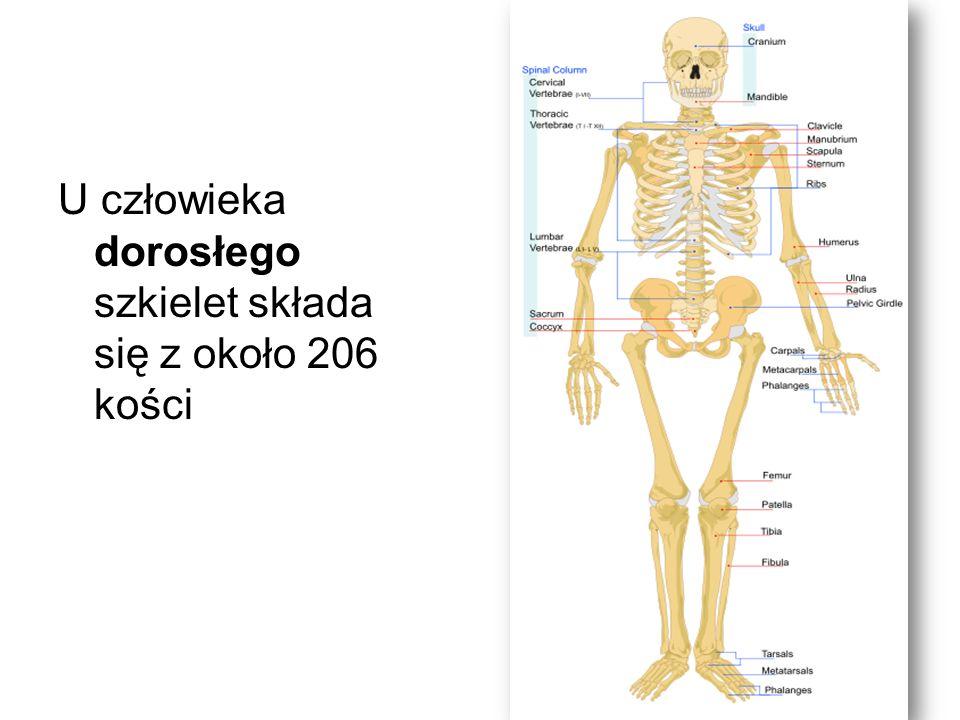 U człowieka dorosłego szkielet składa się z około 206 kości
