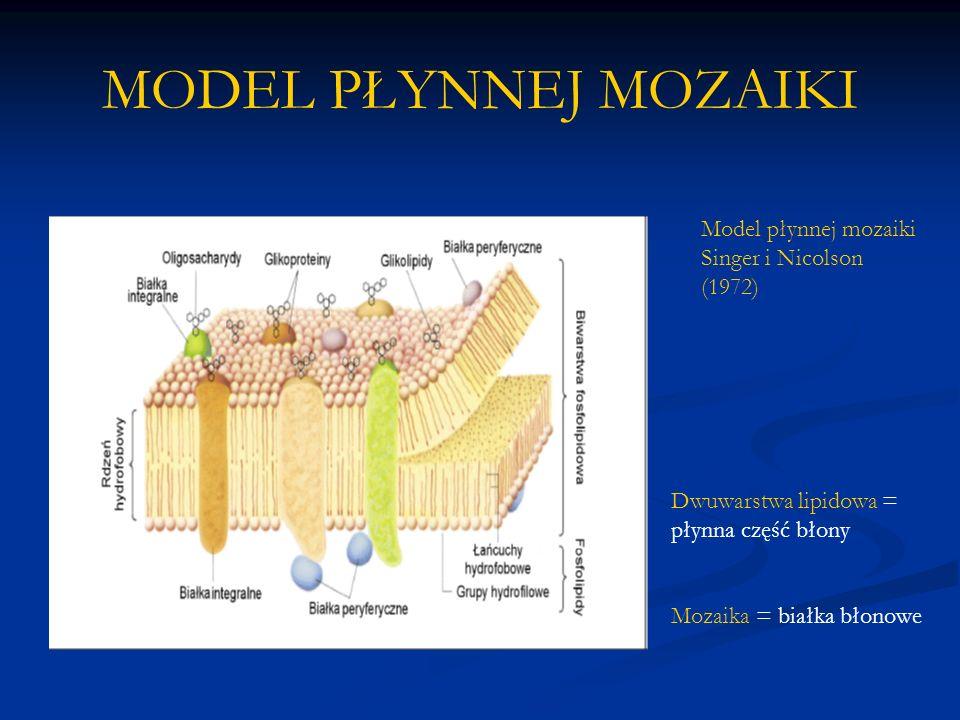 MODEL PŁYNNEJ MOZAIKI Model płynnej mozaiki Singer i Nicolson (1972)