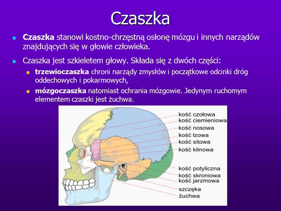 Czaszka Czaszka stanowi kostno-chrzęstną osłonę mózgu i innych narządów znajdujących się w głowie człowieka.