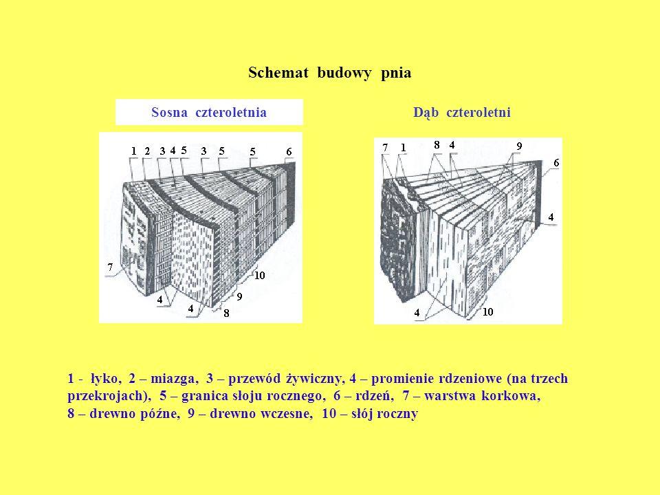 Schemat budowy pnia Sosna czteroletnia Dąb czteroletni