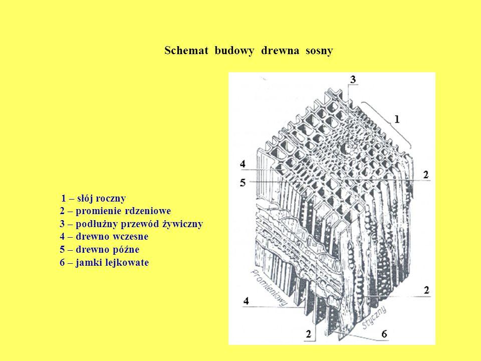 Schemat budowy drewna sosny