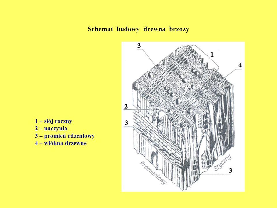 Schemat budowy drewna brzozy