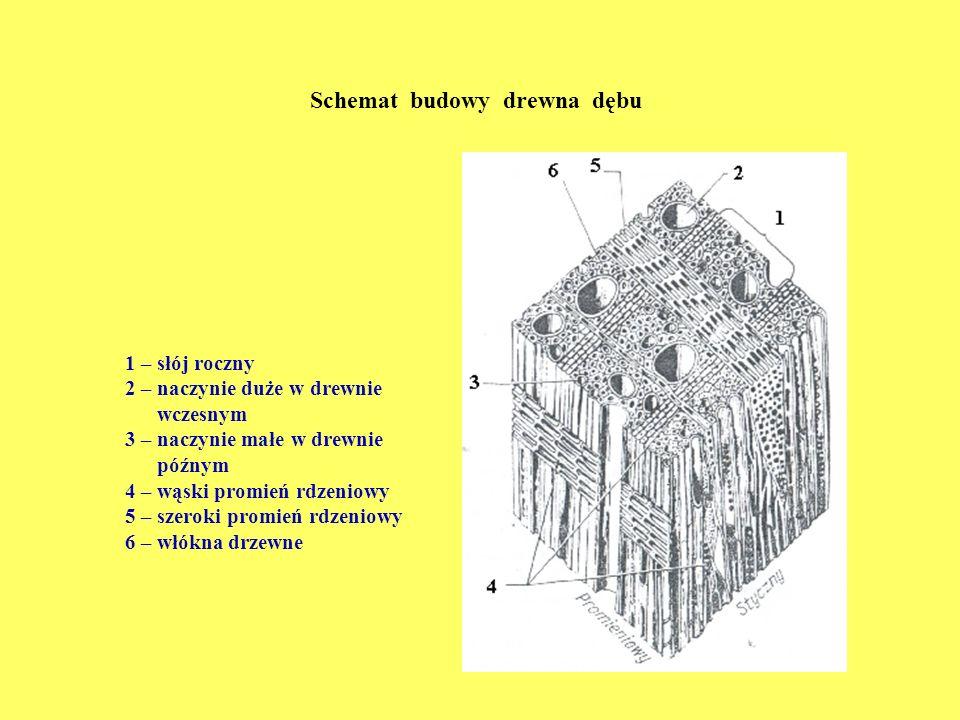 Schemat budowy drewna dębu
