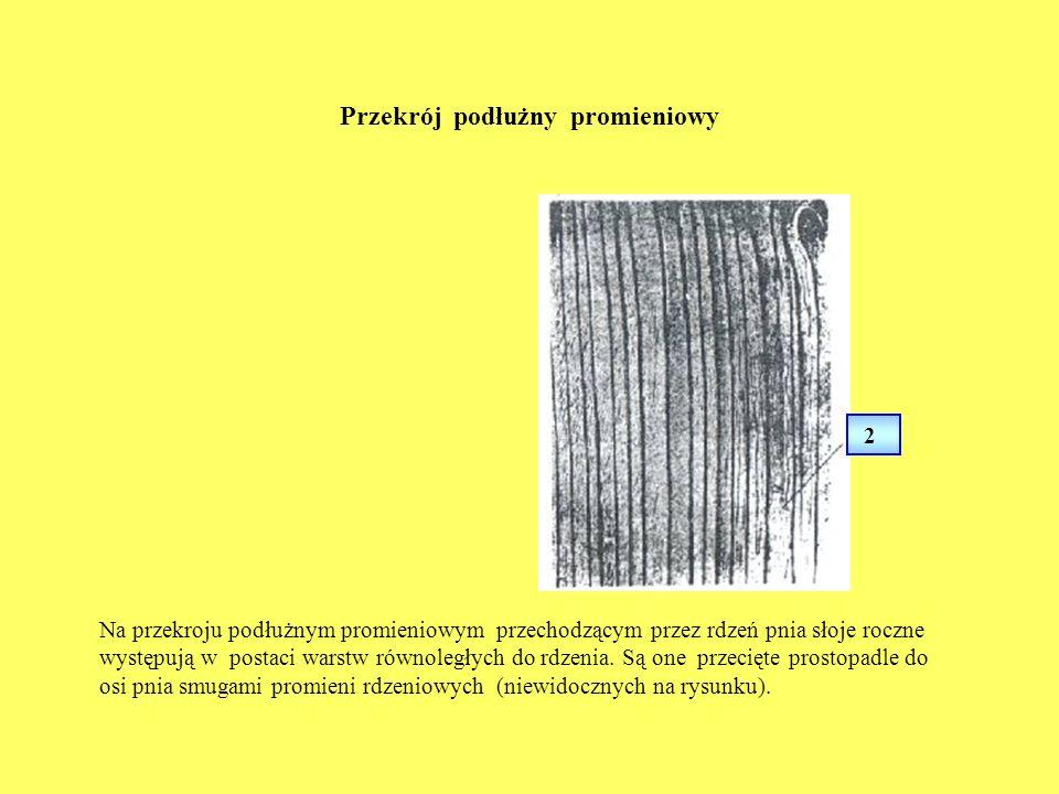 Przekrój podłużny promieniowy