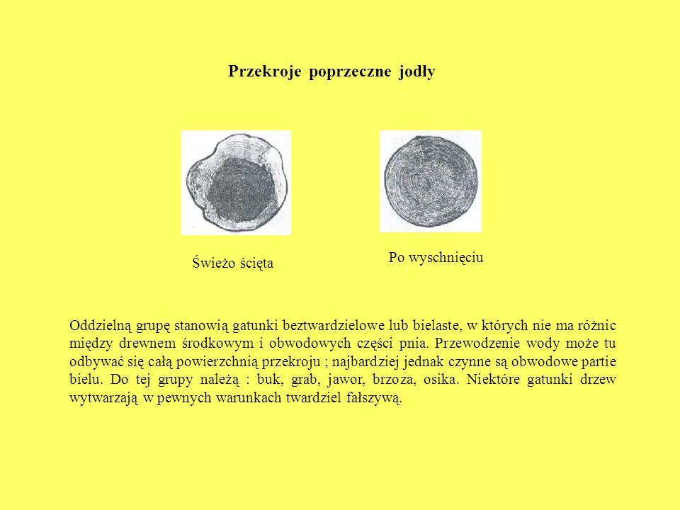 Przekroje poprzeczne jodły