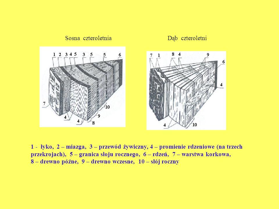 8 – drewno późne, 9 – drewno wczesne, 10 – słój roczny